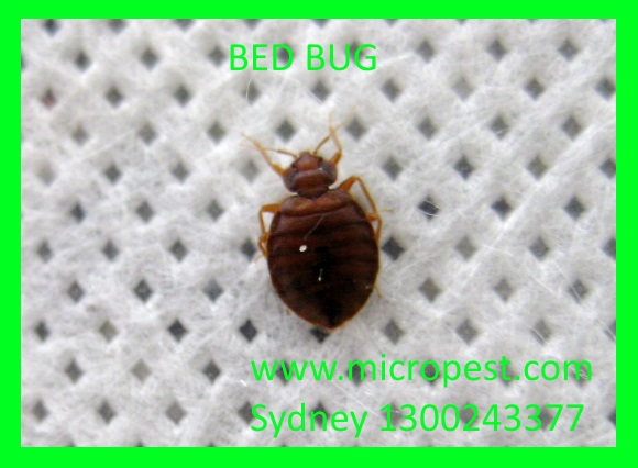 Bed bug Pictures.