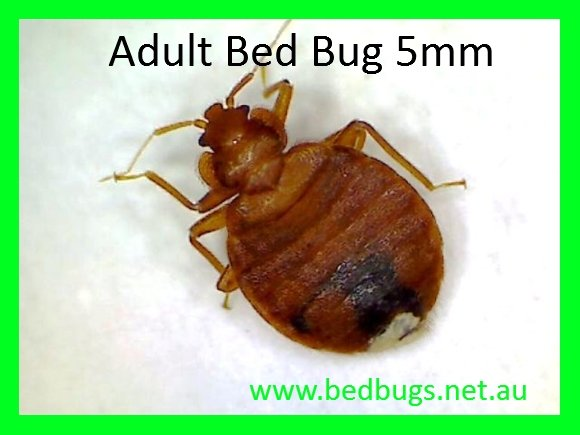 Bed bugs Sydney